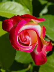 Closeup of Red and white Pinwheel rose against green background