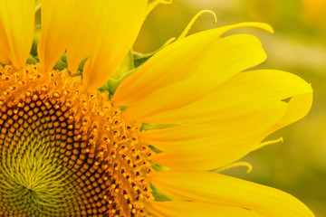 Close up sunflower,select focus and color toned.