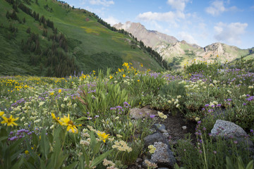 Wildflower Mountain Meadow - Albion Basin Utah