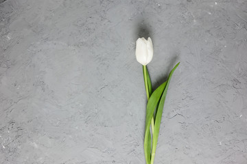 White tulip on a gray concrete background. Top view. Flat lay. Postcard for Easter, Mother's Day and Spring Holidays.
