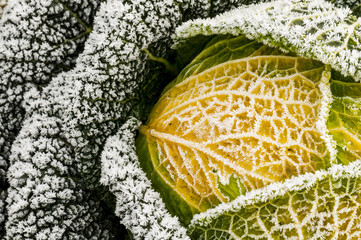 Aluminium Prints Natuur Savoy cabbage in winter
