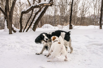 Dogs Jack Russel Terrier and Russian Spaniel playing together in the winter park