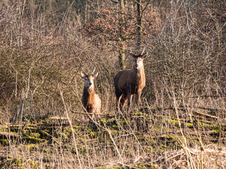 Two female red deer stare at the camera