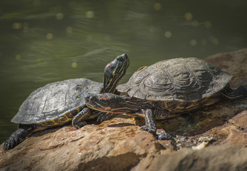Two Turtles on a Rock
