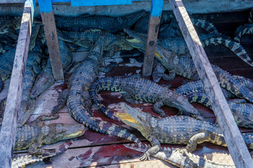 Crocodile farm on a boat