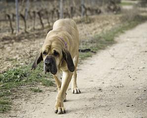 Dog fila brasileiro