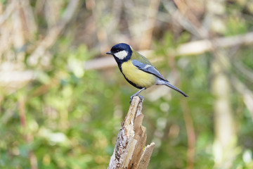 Great Tit perched on a broken sapling