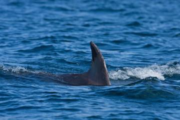 Coll island, Scotland, Hebrides, bottlenose dolphin