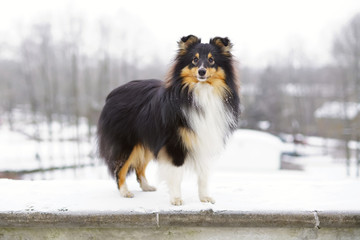 Adorable tricolor Sheltie dog staying outdoors in the park in winter