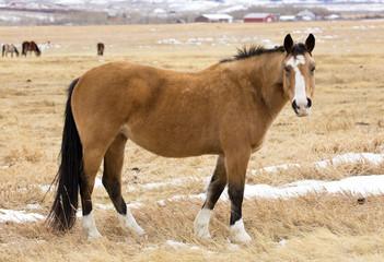 Wild horses of Wyoming in winter. January 2018