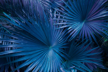 Wall Mural - close up blue or turquoise Tropical big palm leaves in exotic country. concept of foreign background, summer plants or nature and travel