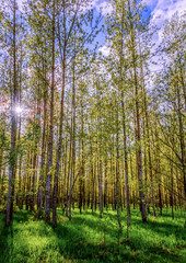 spring birch forest, with tall trees with white bark and small leaves