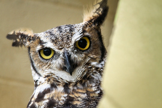 Skeptical owl calmly looking around its surroundings