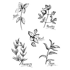 Herbs and spices, basil, parsley, mint, rosemary, sage in sketch style