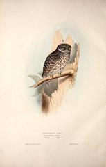 Illustration bird of prey.
