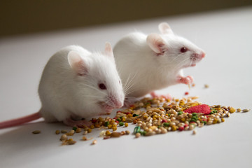 White mice eating bird seed on empty table