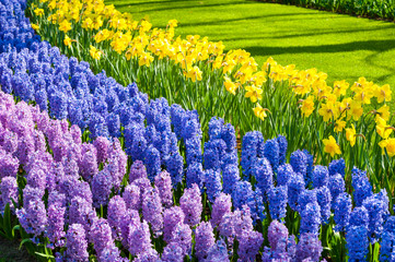 Blooming hyacinth and narcissus flowers.