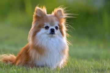 Beautiful Pomeranian Dog sitting in grass, watching.