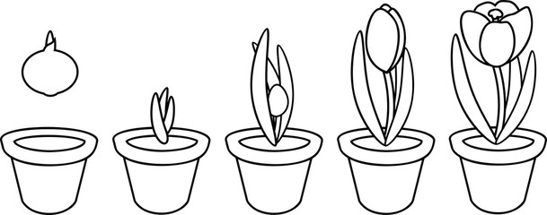 Coloring page. Crocus life cycle. Stages of growth from planting bulb in flowerpot to flowering plant