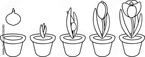 u0026quot coloring page  crocus life cycle  stages of growth from