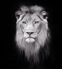 Face of a male lion.