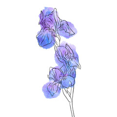 vector drawing flower of iris