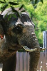 動物園のアフリカゾウ