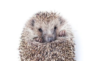 the wild young hedgehog curled into a ball.