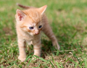 Sad little ginger-coloured kitten