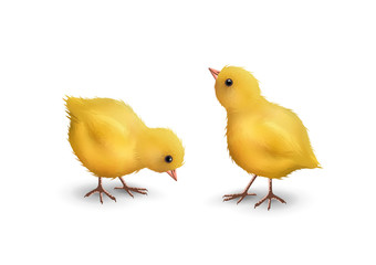 Vector Realistic Chick