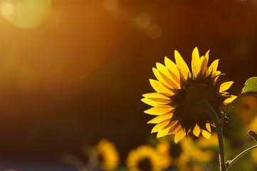 Sunflower against the blue sky and bright sun light.
