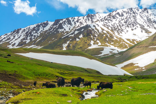 Black yaks against the background of snow mountains in Kyrgyzstan