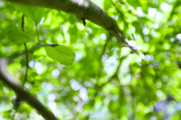Background of green leaves on apple tree.