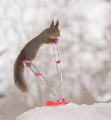red squirrel standing on a crutch and a snowboard