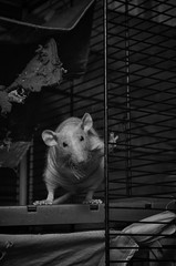 Decorative rat in a cage.