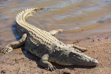 Photo sur Plexiglas Crocodile crocodile resting on the banks of a dam