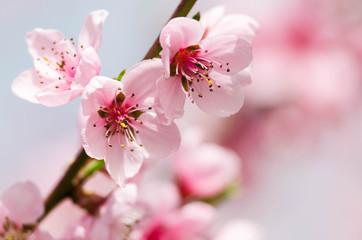 peach blossom flowers Fotoväggar