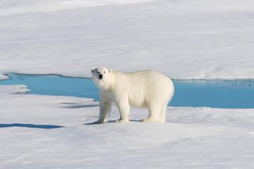 Deurstickers Ijsbeer Polar bear on the pack ice
