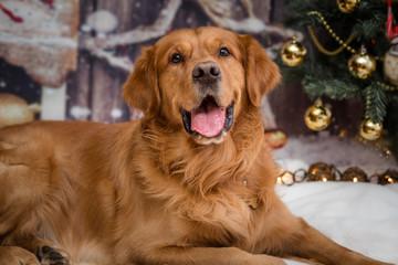golden retriever dog on new year background2