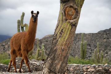 Foto op Plexiglas Lama samotna lama wsród kaktusów w dolinie Quebrada de Humahuaca w argentynie
