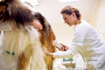 Team of veterinarian doing ultrasound and analyze health of dog