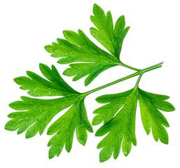 Parsley herb. Macro shot of small leaf.