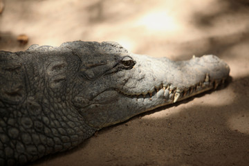crocodile head close up on a sandy surface with natural sunlight and shadow