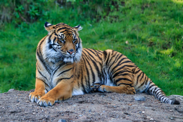Glaring tiger laying down