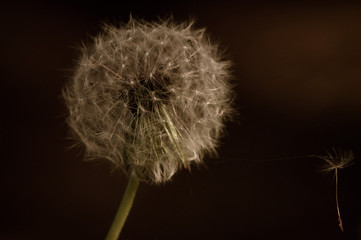 Spring, dandelion.