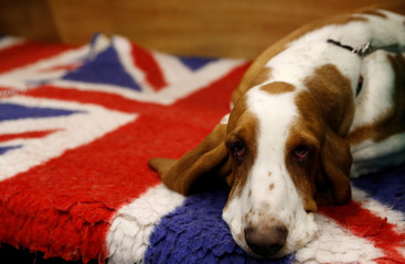 A Basset Hound rests on its bench during the second day of the Crufts Dog Show in Birmingham