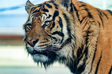 Portrait of tiger with blurred background