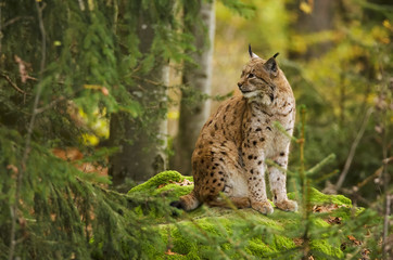 Photo sur Aluminium Lynx Eurasian Lynx, Lynx lynx, big predator, Bavarian forest National Park, Germany