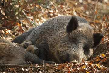 Wild Boar, Sus scrofa, animal in autumn forest, Europe