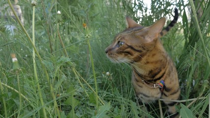 Bengal cat walks in the grass. He shows different emotions. The ears are lowered and set back: an offensive posture, anger, fear, anxiety, restless and anxious.